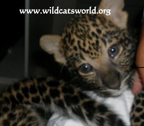 Felicia Leopard