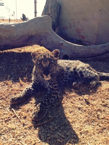 Felicia the Leopard