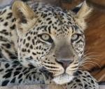 feline (leopard)