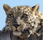 Support the Plight of the leopards