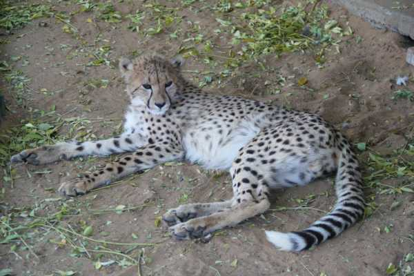 Sunny - ambassador cheetah