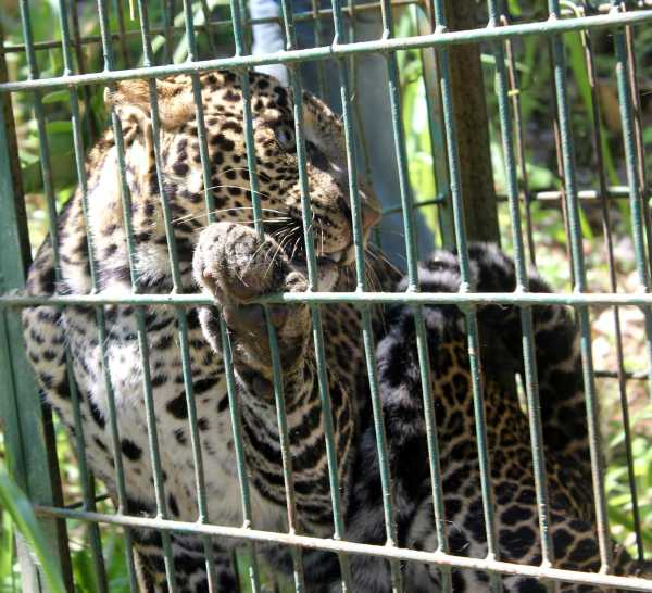 Ciemas - leopard