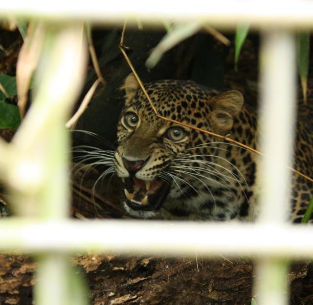Javan leopard Dimas