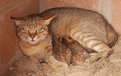 Up-date African wildcat female Louise and kittens
