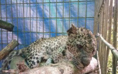 Update Javan leopard release program – bad news twice