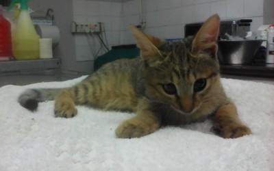 African wildcat, Milow, injured