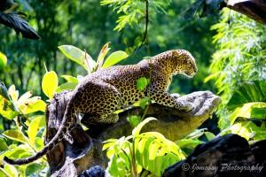 Javanleopard