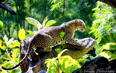 Taxonomic uniqueness of the Javan Leopard