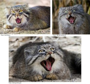 pallas-cat-funny-faces-2
