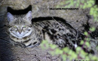 Tribute to Beauty, black-footed cat female
