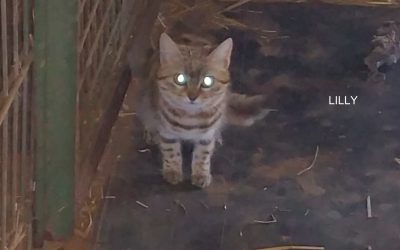 Welcome Lilly & Spotty – Black-footed cats