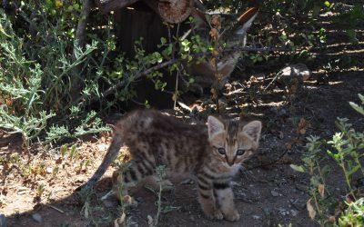 Stars & Sandy – African wildcat kittens