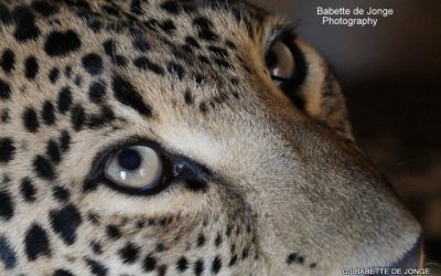Leopard Conservation: New: WCW against trade, commercial exploit, Canned Hunting and irresponsible breeding of leopards in captivity