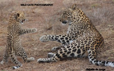New!!! Rehabilitation program orphan (wild) leopardcubs