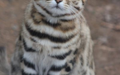 Proudly presents: our gorgeous black-footed cat ambassadors