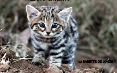 Black-footed Cat Conservation