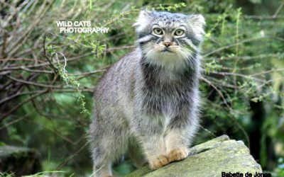 March 2017 – Official start of the WCW Pallas Cat Conservation Project