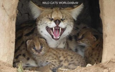 Serval Joy gave birth….