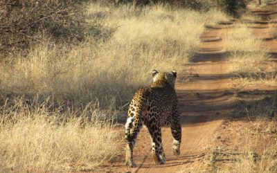 SA leopard population 'crashing', study warns