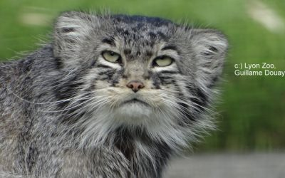 WCW – Pallas Cat Conservation