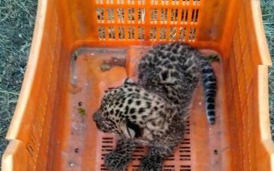 Lost leopard cub reunited with mother after two-hour rescue operation in Maharashtra