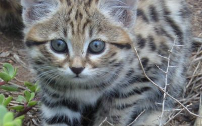 Black-footed cat female Lilly giving birth….