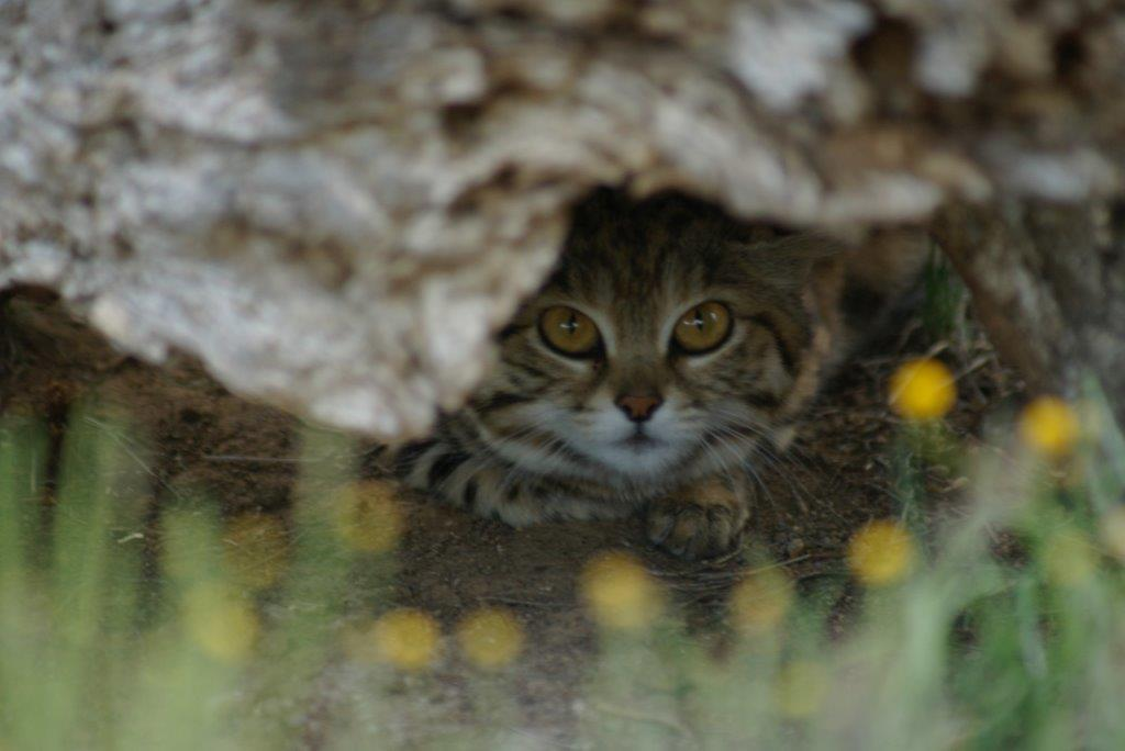 Diva Black Footed Cat
