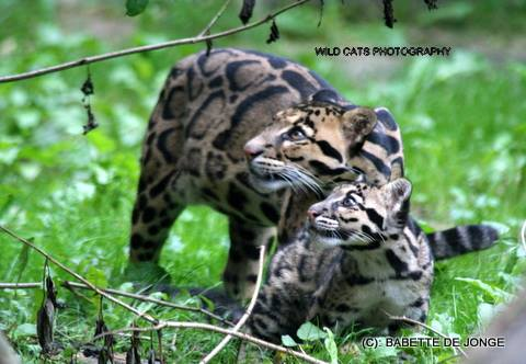 clouded leopard cub named baton wild cats world