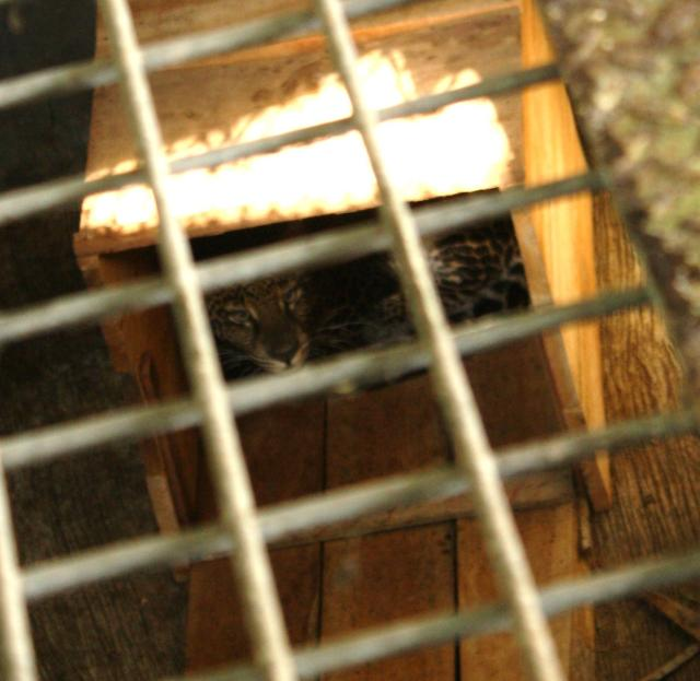 Javan leopard Ciemas