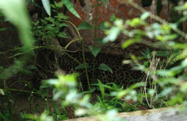 Javan leopard Sawal