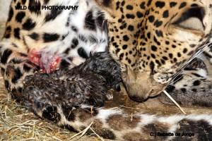 leopardbirth