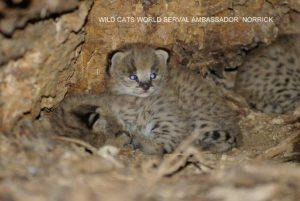 1-nala kittens 14nov14 pm b