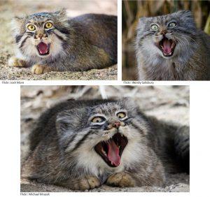 pallas-cat-funny-faces-2