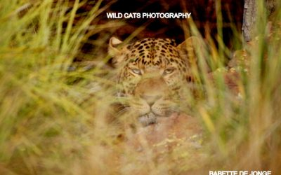 WCW leopards doing great… going WILD