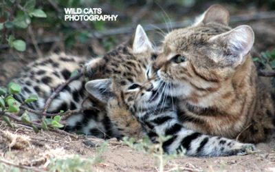 Second birth at our black-footed cat, parents Lilly & Spotty