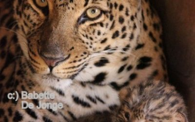 Leopard cubs meet Dad for the first time