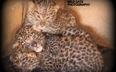 Third litter, African leopards Feline & Félipe: three gorgeous cubs