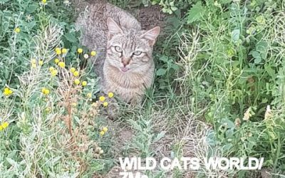 Welcome to African wildcat female Quilla