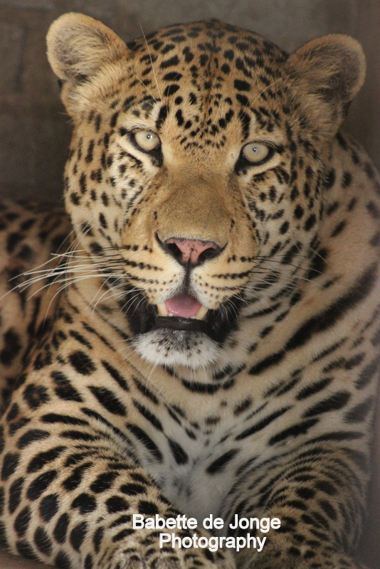 Leopard - Photography Babette de Jonge