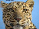 Happy Birthday – start brand new WCW Leopard Sanctuary.