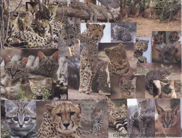 Wild cat collage