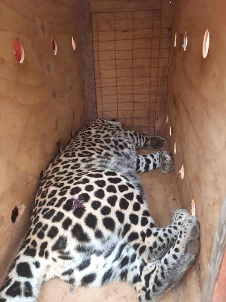 Leopard relocation
