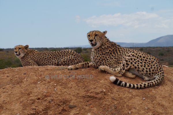 Wild Cat World Images