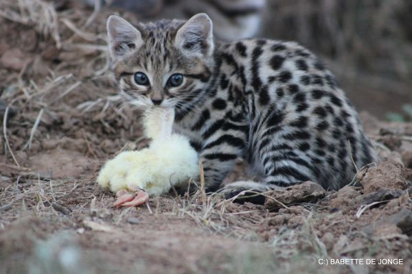 Wild Cat World Images